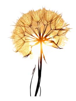 Fleur cocon
